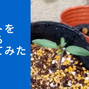 トマトを種から育ててみよう。