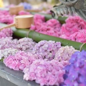 紫陽花の花手水は有名な目の観音様【柳谷観音】