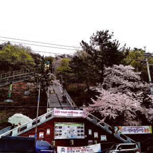 いつかの韓国▪️鎮海の桜祭り(展望台)