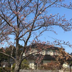 桜  満開も間もなく