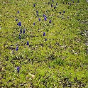 ゆるポタ中見かけた野生化した園芸品種