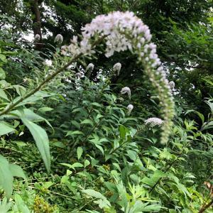 水林の雑木林で見た花 オカトラノオ