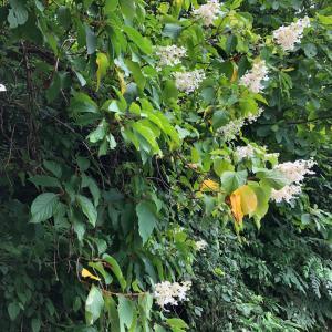心惹かれる白い花