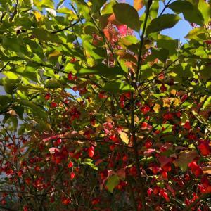 庭の木の実が真っ赤