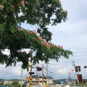 今日も楽しくポタリング  ネムの花とザクロの花