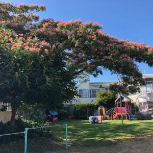 ひかり保育園の合歓の花
