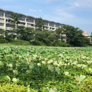 秋田市千秋公園の蓮の花