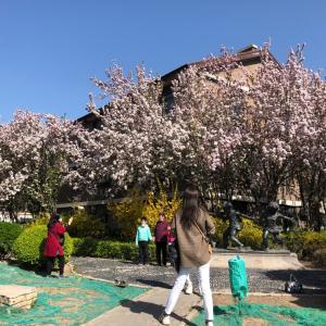 天津ウイルス復興、五大道の花見満開、春が来た!