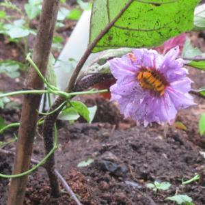 八重の茄子の花