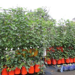 紫さつま芋のネット栽培