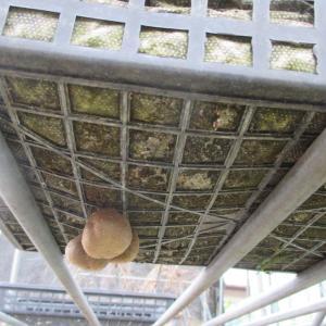 満月に日に植えたさつま芋と満月のようなホコリタケ?