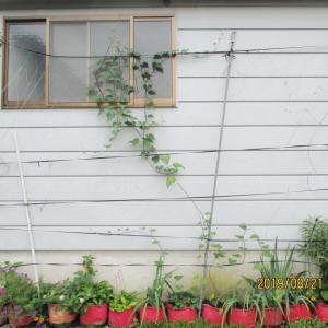 1株の巻蔓性のさつま芋の壁面緑化
