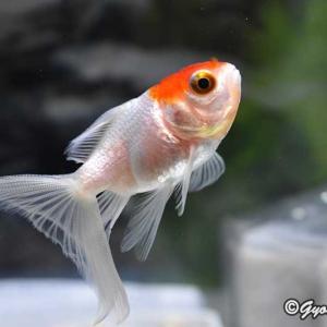 金魚はニゴちゃん1匹だけになってしまった。