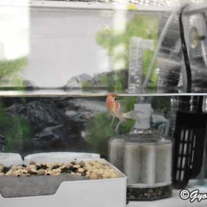 金魚の水替えしました。