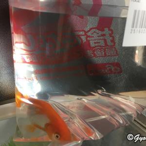金魚が増えました!