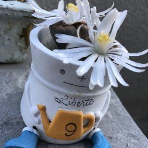 おしり系多肉植物「リトープス」ついに開花!キモカワいさ増量中