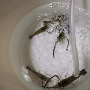 『初夏の風物詩』釣り初心者にオススメ!!簡単テナガエビ釣り!【荒川】