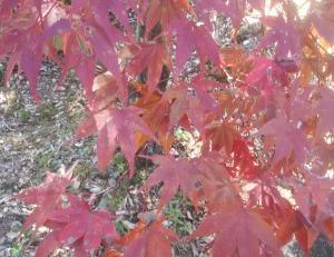 【紅葉へいこうよう!~犬山もみじ寺『寂光院』~】