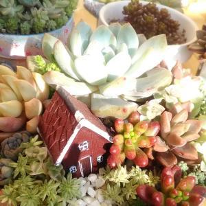 冬の晴れ間の多肉日和(*´ ꒳ `*)うちの寄せ植え達