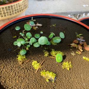 初めての水草発送、オークロの水上栽培