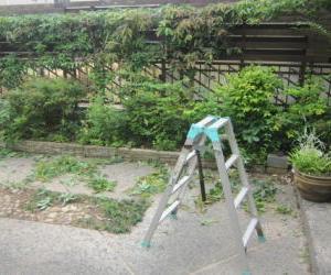 園芸作業日誌 7月1 白樫の剪定
