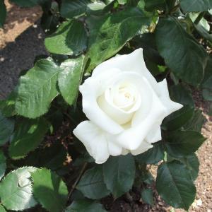 この世に一輪の白薔薇がある限り‥