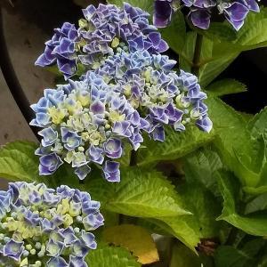 紫陽花に想いをよせて