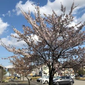 2020.04.14,25 富山市 城南公園 桜 柴犬 鴨