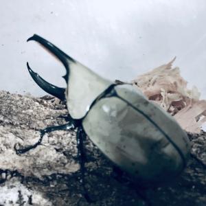 梅花のカブクワ⑨ グラントシロカブトの爆産方法
