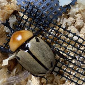 秋のカブクワ② 小さいカブトムシは可愛いよね。 ヨツボシヒナカブト!サビイロカブト