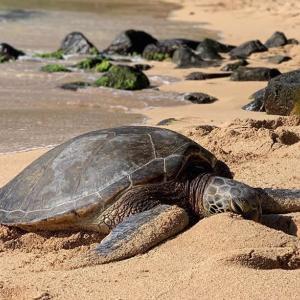 ホヌの産卵でベローズビーチが閉鎖される