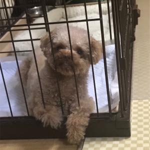 これってアイコンタクト⁈ 眼で飼い主に用事を言いつける犬。