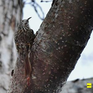 晩秋の森で出会ったキバシリ