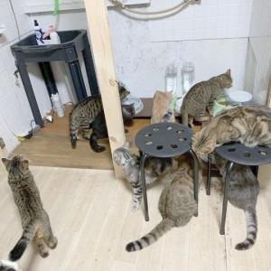 多頭飼育崩壊の猫、68匹(里親募集中)