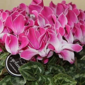 家の鉢花 シクラメン シンビジウム スイセン