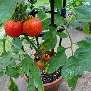 トマトの行灯仕立て