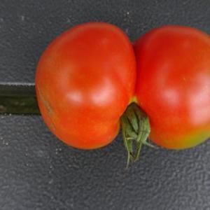 双子のトマト