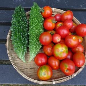 今朝の収穫 ゴーヤとトマト