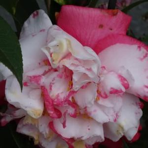 斑入り葉椿の品種は
