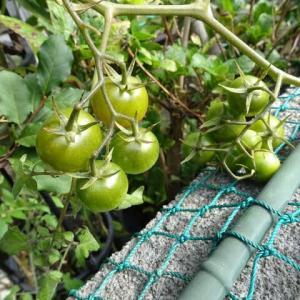 ミニトマトがまだ…