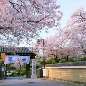 京都桜シリーズ 建仁寺