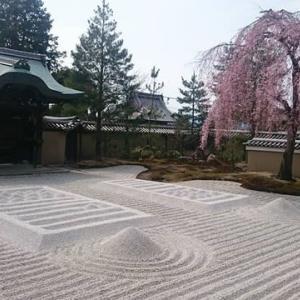 京都の桜シリーズ 高台寺・圓徳院春の特別拝観と夜間特別拝観
