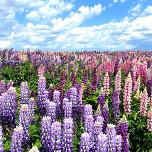 地平線まで続く絶景♡富良野で感動するルピナスの花畑「フラワーランドかみふらの」【観光・おすすめ】