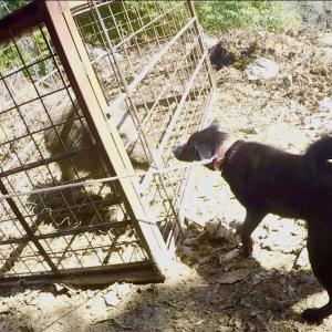猟犬のたまご、アルをイノシシと初対面させてみた。
