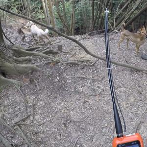 アルの巻き狩りデビューは先輩や兄弟犬との楽しい山遊びで終わる