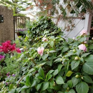 つぼみが沢山です‼️今朝のお庭から届けられる元気【33】