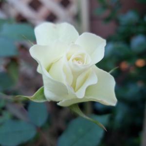 バラはワタシに元気を届けます❗【35】