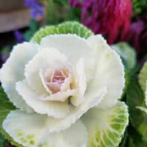 冬の薔薇は丈夫です長持ちの葉牡丹【35】今朝のお庭から届けられる元気