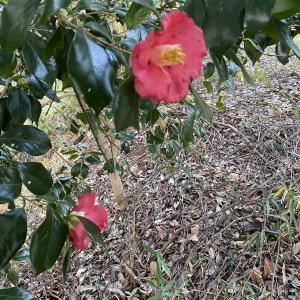 椿の花の由来