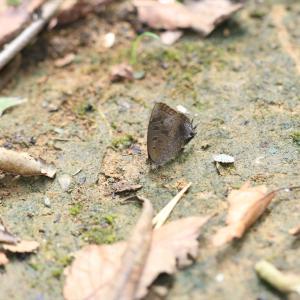 蝶の写真 東高根森林公園でムラサキツバメの開翅を狙い続ける